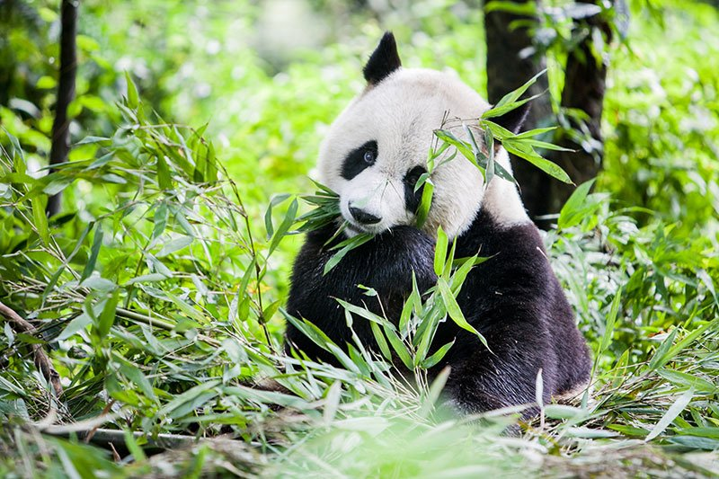 Panda Conservation and Wild China